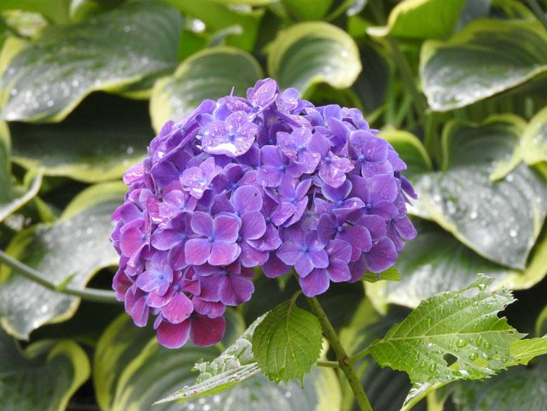 紫陽花(アジサイ) 散策路 180609撮影