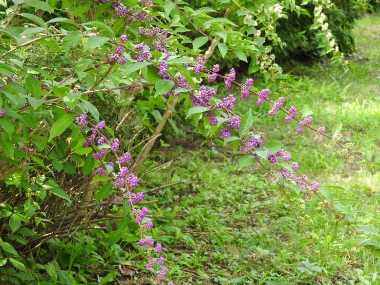 紫式部の花実(むらさきしきぶ) 散策路 170915撮影