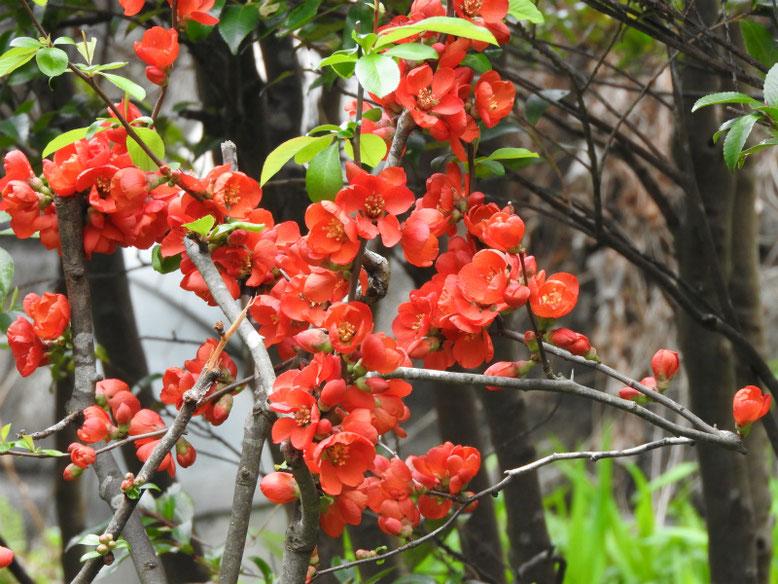 木瓜の花(ぼけのはな) 親水緑道 180323撮影