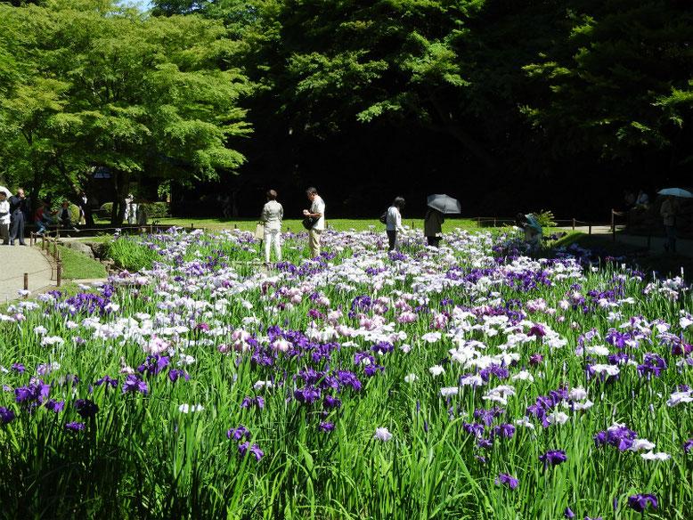 花菖蒲(はなしょうぶ) 北鎌倉明月院 160602撮影