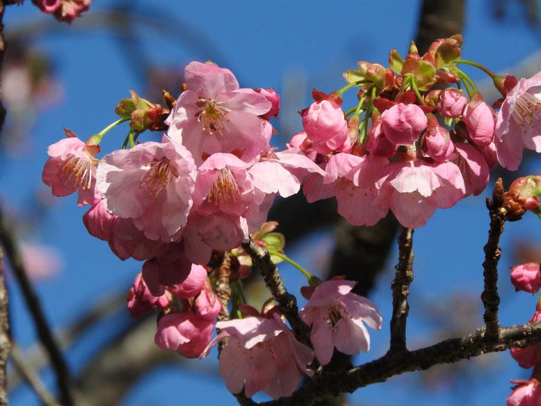 陽光桜(ようこうざくら) 散策路公園 2020/03/11撮影