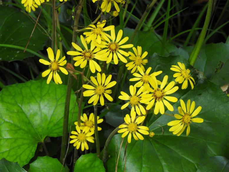 石蕗の花(つわぶき) 親水公園池 171109撮影