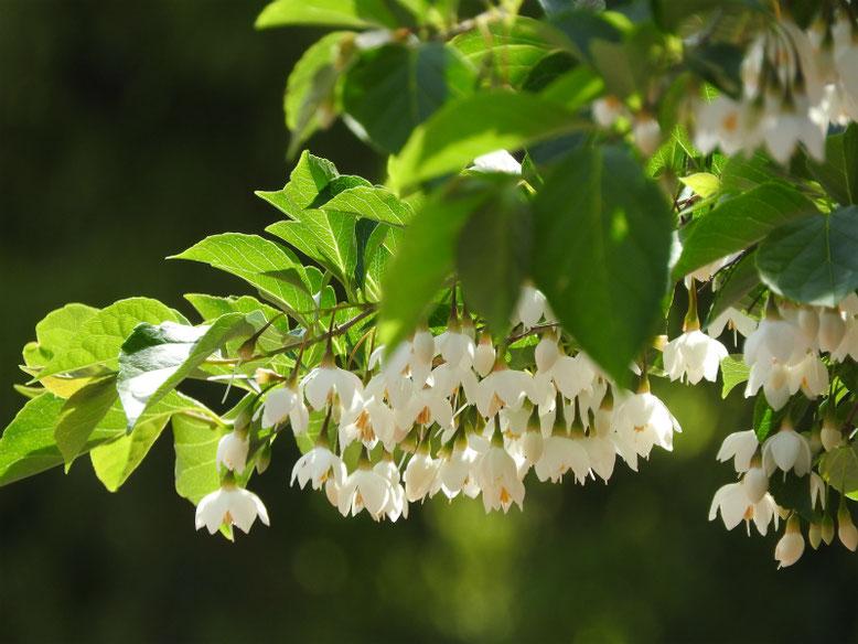 萵苣の木(ちしゃのき) エゴノキ 散策路 180430撮影