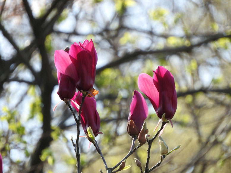 紫木蓮(しもくれん) 散策路 180329撮影