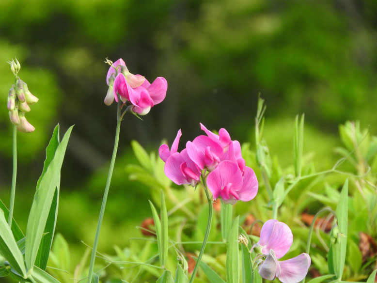 矢筈豌豆(やはずえんどう) 散策路 2019/05/18撮影