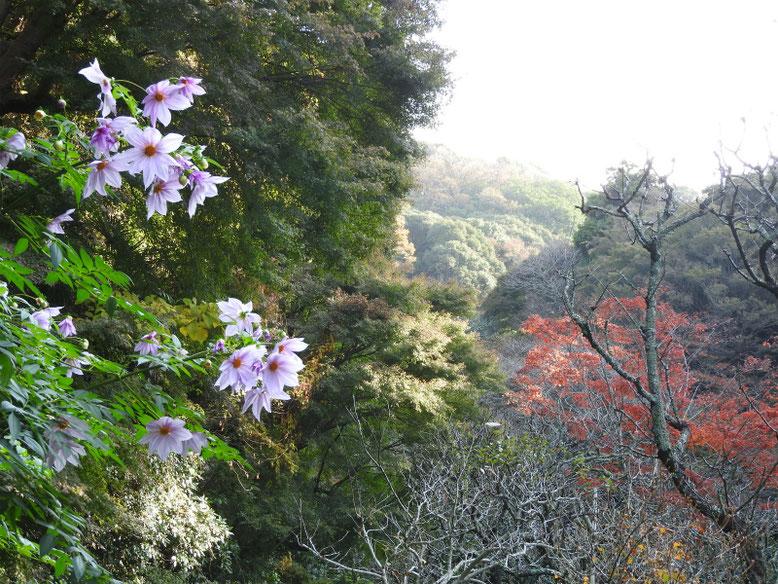 皇帝ダリア(こうていだりあ) 鎌倉瑞泉寺 2018/11/29撮影