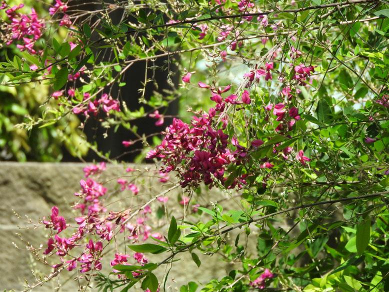 萩の花(はぎ) 海蔵寺 180608撮影