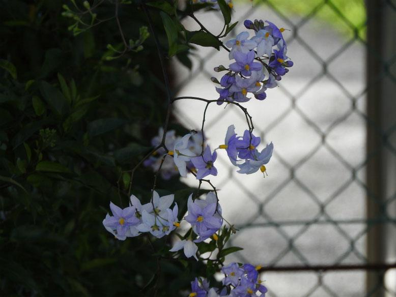 蔓花茄子(つるはななす) 散策路 180710撮影