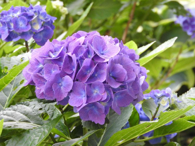 紫陽花(アジサイ) 散策路 2021/06/08撮影