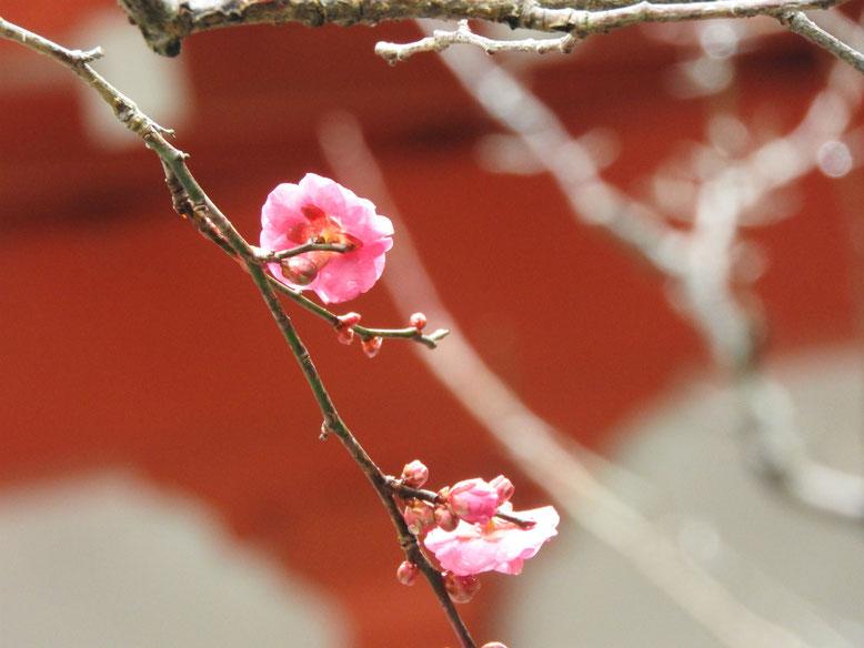 紅梅(こうばい) 荏柄天神社 180118撮影