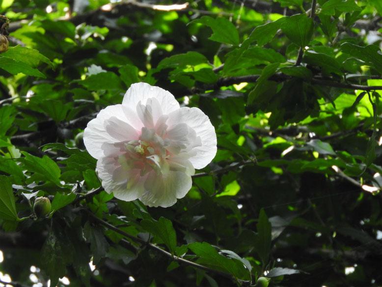 木槿八重(むくげ) 散策路 2020/07/12撮影