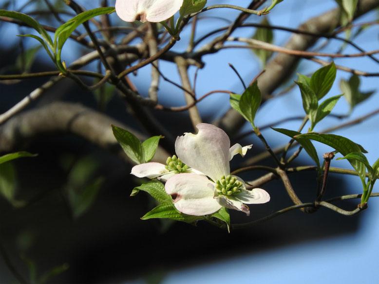 ハナミズキ(白色) 散策路 2019/04/20撮影