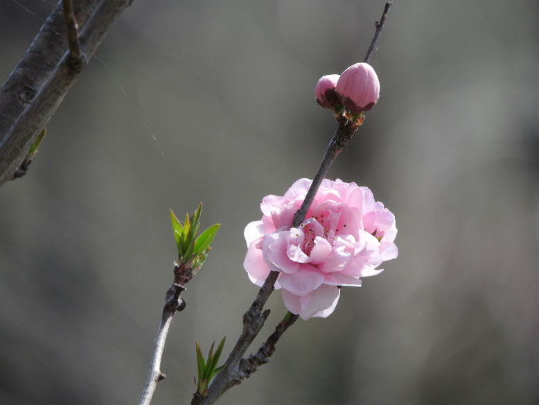 桃の花(もものはな) 散策路 撮影