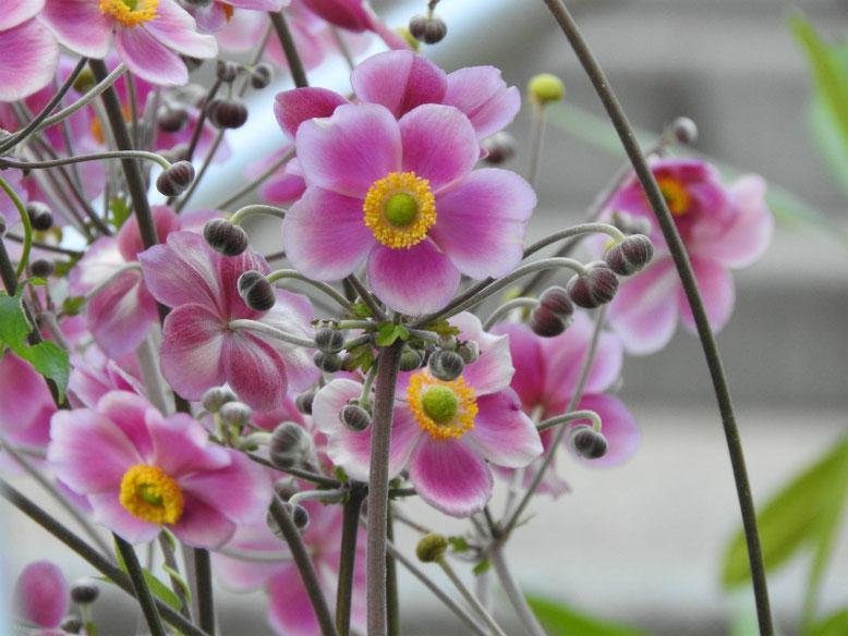 秋明菊(しゅうめいぎく) 散策路公園 2019/08/05撮影
