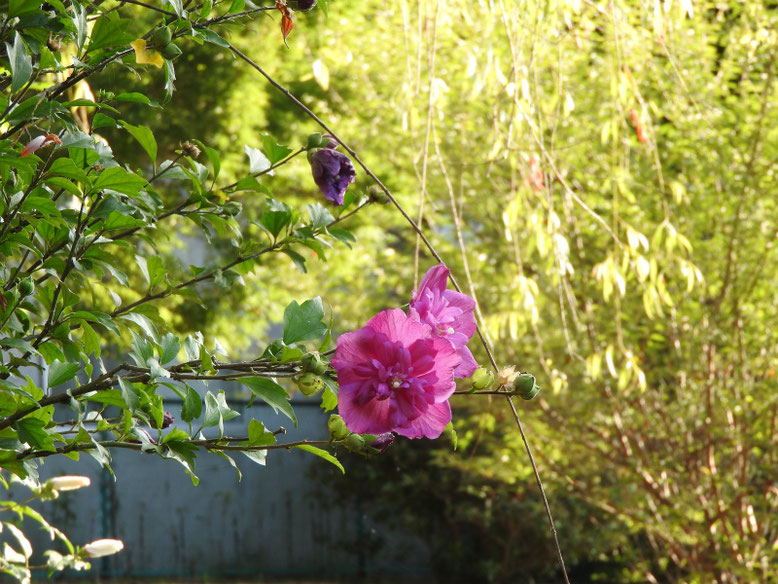 木槿(むくげ) 八重咲き 散策路 170715撮影