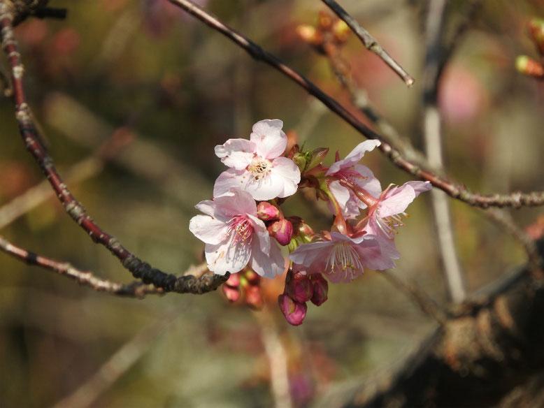 寒桜(かんざくら) 散策路 2019/02/18撮影