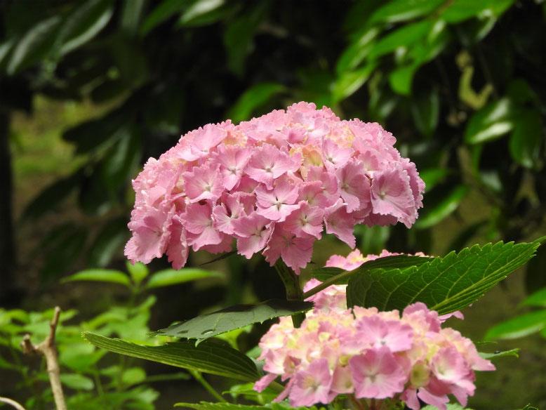 アジサイ 自宅庭 2020/06/07撮影