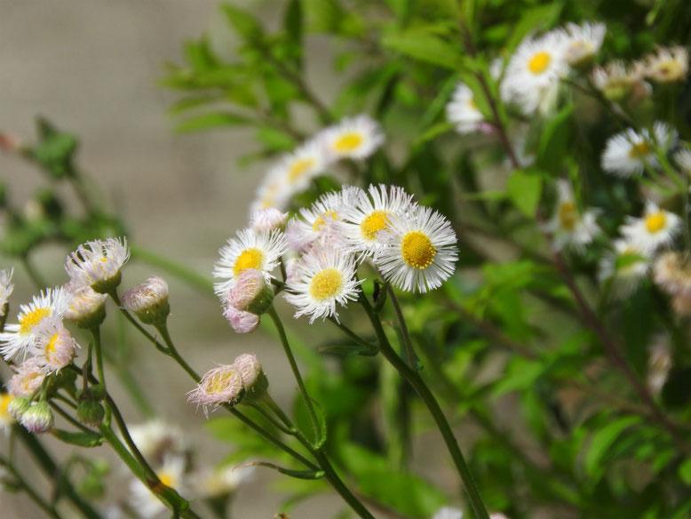 春紫苑(はるじおん) 散策路 170504撮影