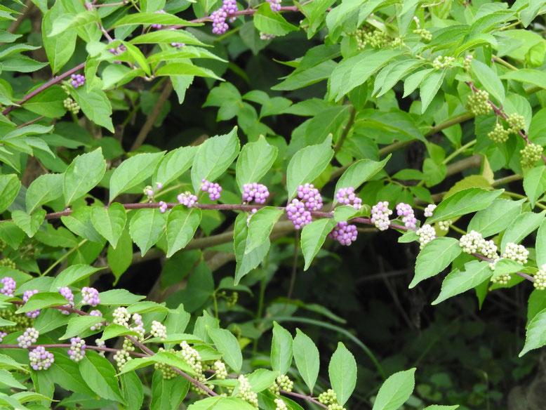 紫式部の花実(むらさきしきぶ) 散策路 170828撮影