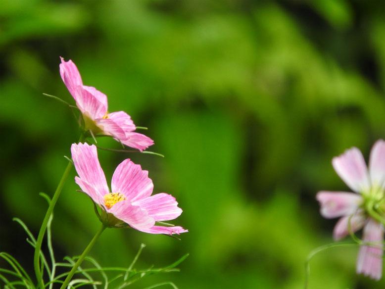 コスモス(ピンク) 散策路 170903撮影
