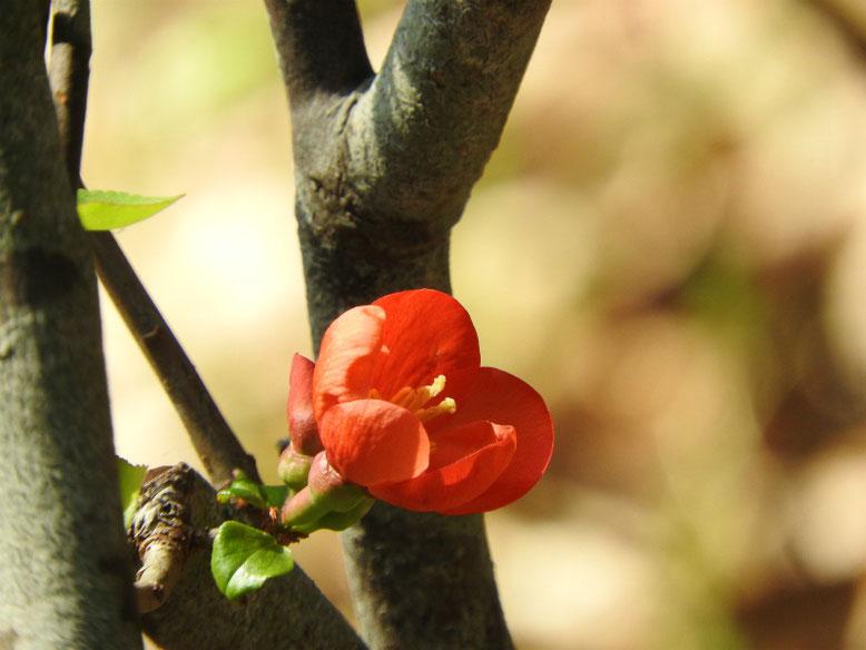 木瓜の花(ぼけ)緋木瓜 散策路 160312撮影