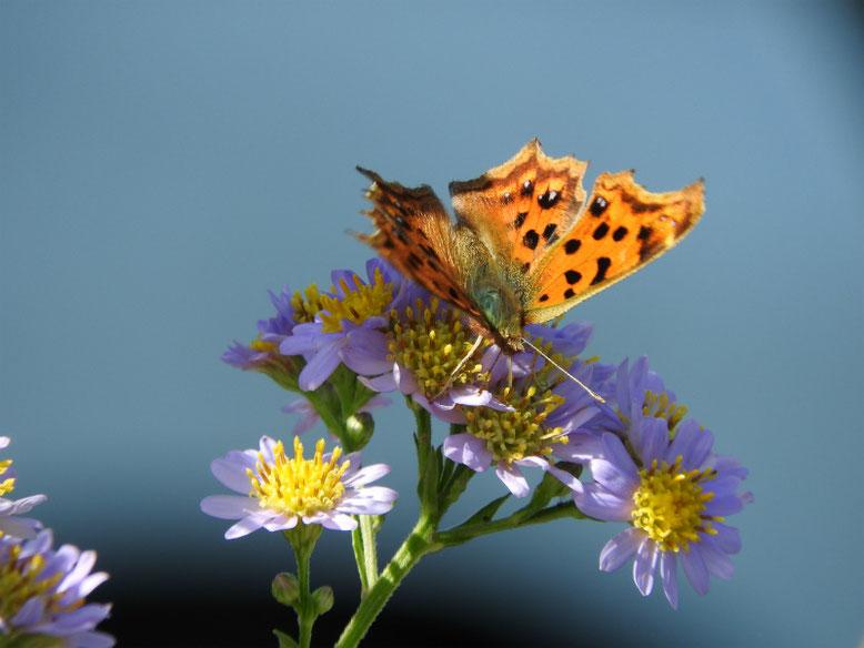 散策路 紫苑と秋蝶