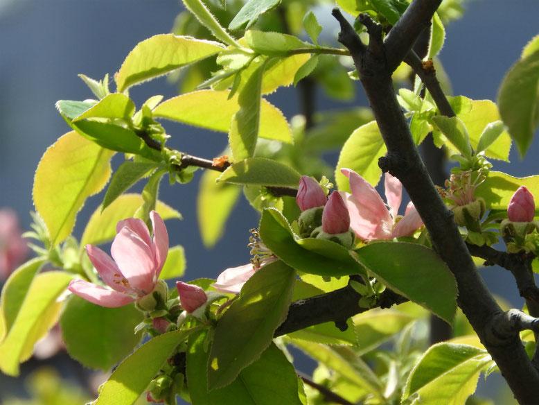 花梨の花(かりんのはな) 散策路 2021/03/31撮影