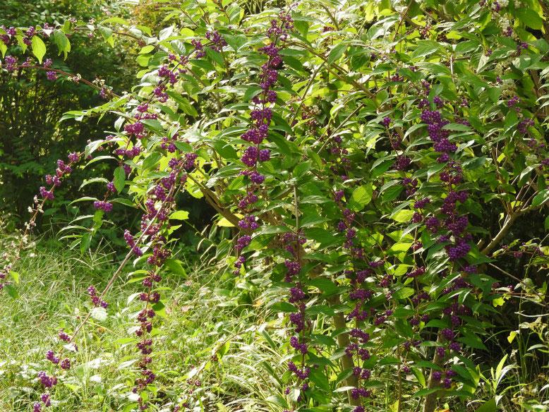 紫式部の花実(むらさきしきぶ) 散策路 171011撮影