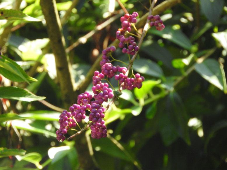 紫式部の花実(むらさきしきぶ) 円覚寺 180918撮影