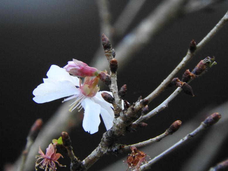 冬桜(ふゆざくら) 瑞泉寺水戸光圀公から献上されたといわれる冬桜 170111撮影