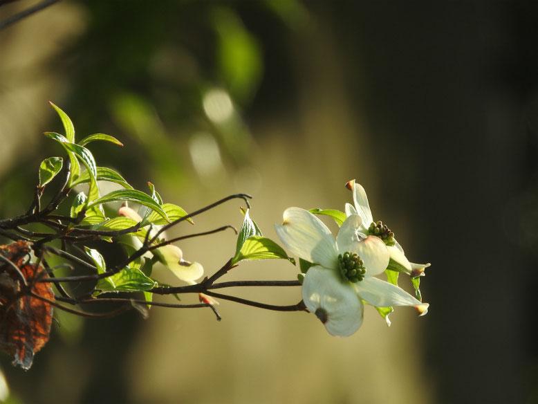 ハナミズキ(白色) 散策路 180407撮影