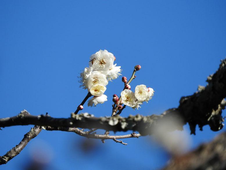 鎌倉瑞泉寺の白梅 170111撮影