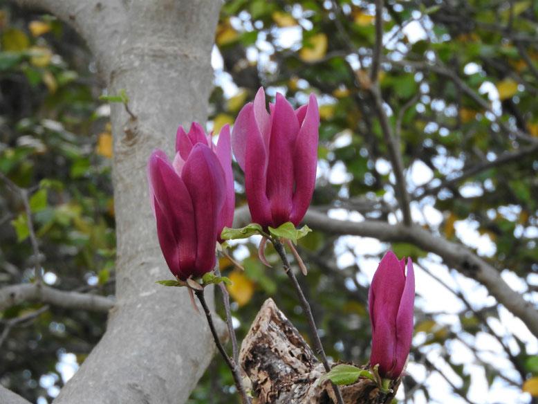 紫木蓮(しもくれん) 散策路 180407撮影