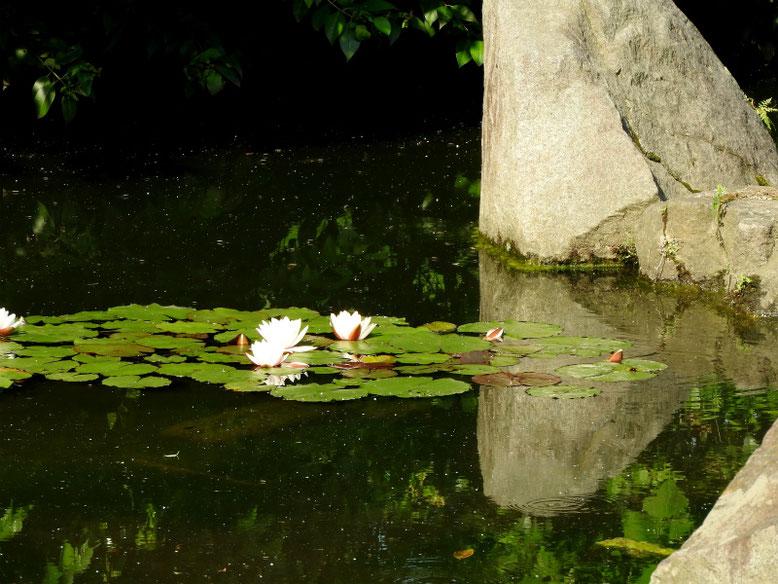 睡蓮(すいれん) 散策路 170521撮影