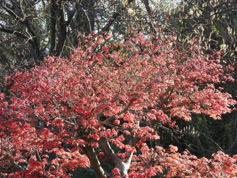 新出猩々(シンデショウジョウ) 散策路公園 2021/03/24撮影