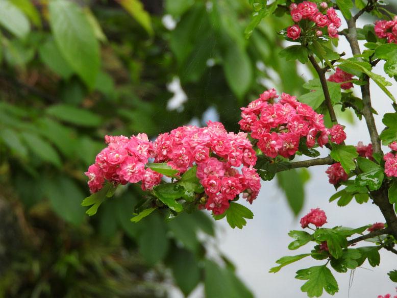 紅山査子(べにさんざし) 鎌倉長谷寺 160429撮影