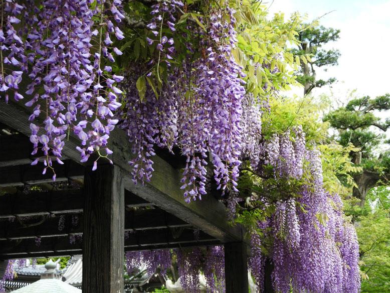 藤の花(ふじ) 鎌倉長谷寺 160429撮影
