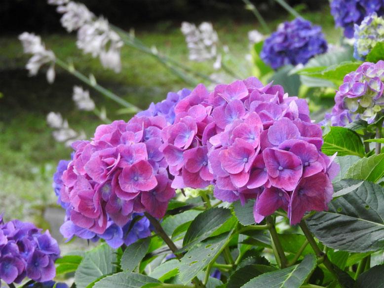 紫陽花(アジサイ) 散策路 2021/06/13撮影