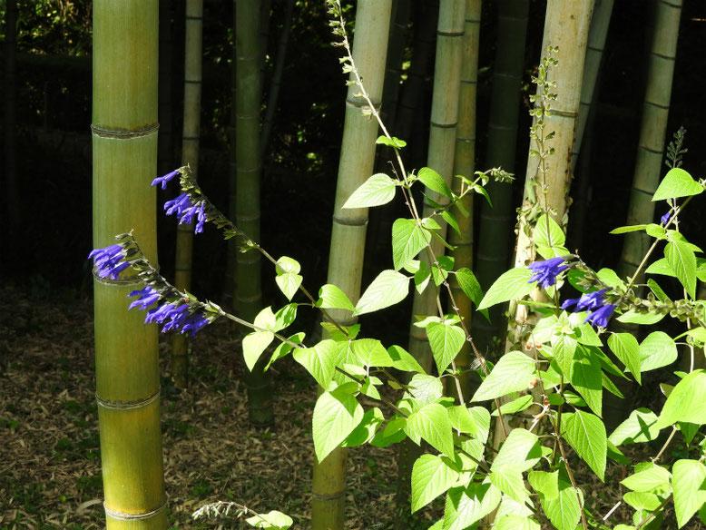 青紫ハーブセージ 散策路 2019/08/05撮影