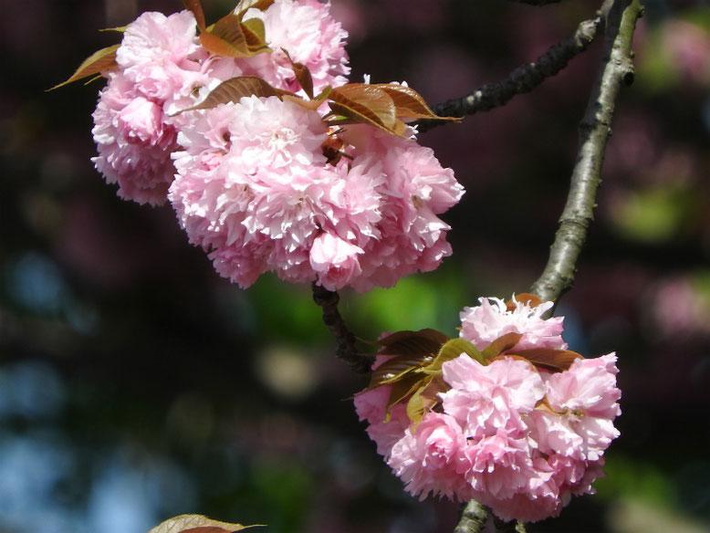 八重桜(やえざくら) 散策路 160422撮影