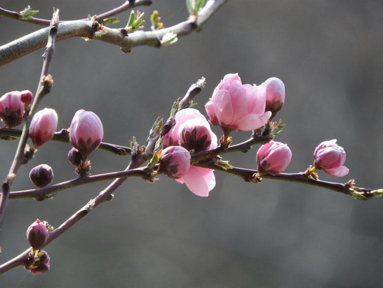 散策路 桃の花   春に撮影した、鎌倉、横浜散策路の花たち・・1