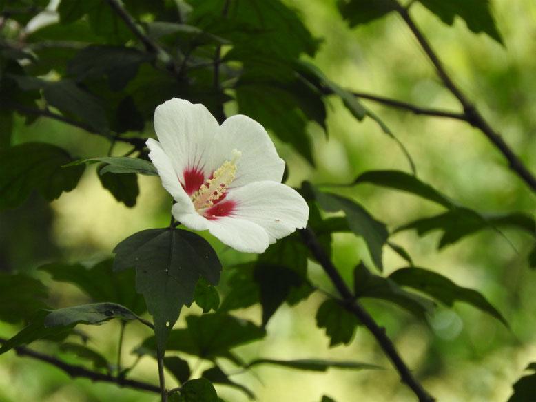 木槿(むくげ) 散策路 2020/07/05撮影