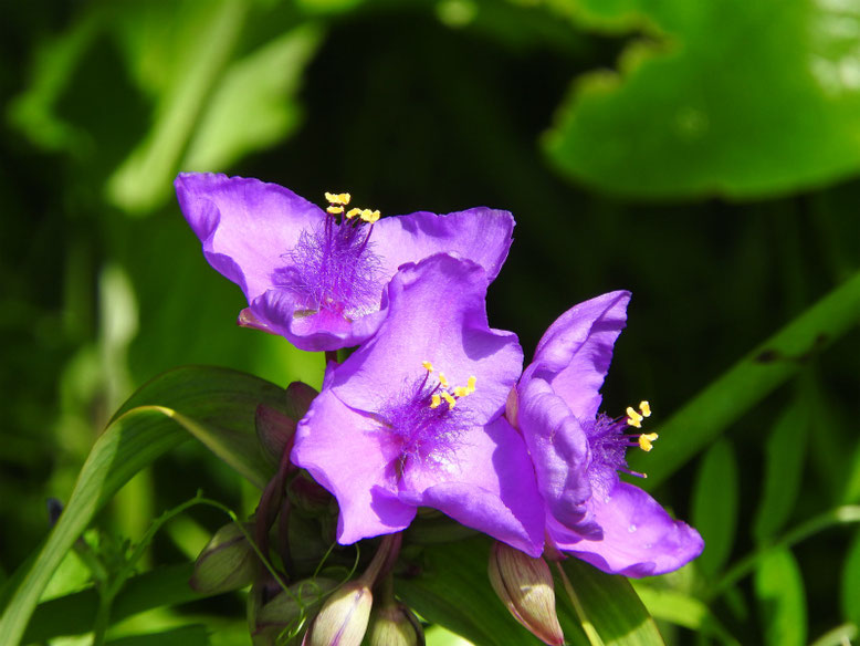 大紫露草(おおむらさきつゆくさ)散策路180430撮影