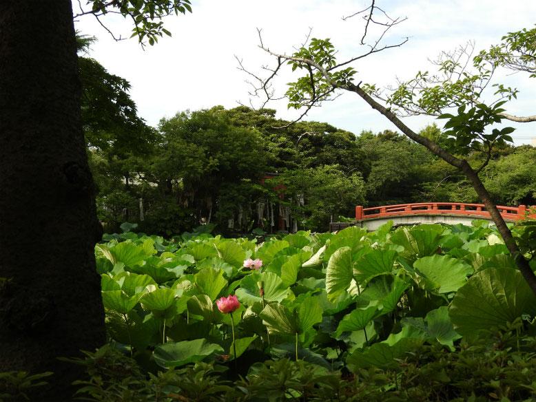 鶴岡八幡宮 源氏池と旗上弁財天社 170703撮影