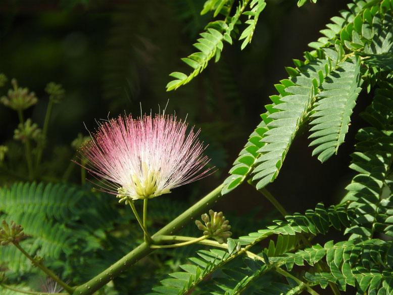 合歓の花(ねむのはな) 散策路 170610撮影
