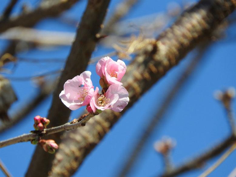 河津桜(かわずざくら) 散策路 2021/02/09撮影