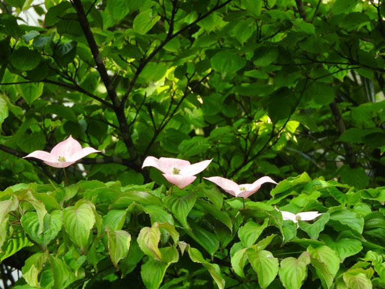 山法師(やまぼうし)ピンク 散策路公園 2019/05/18撮影