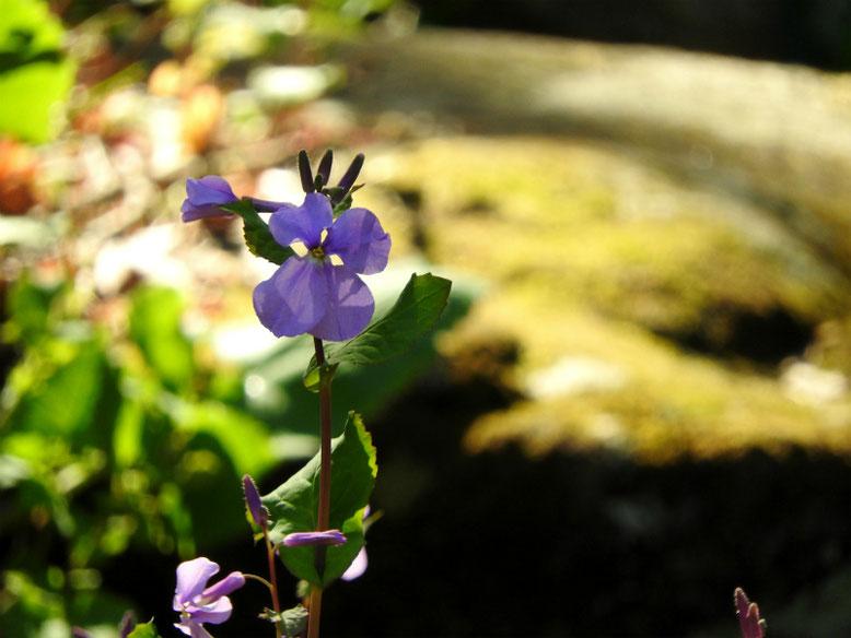 紫花菜(むらさきはなな) 親水緑道 2021/03/10撮影