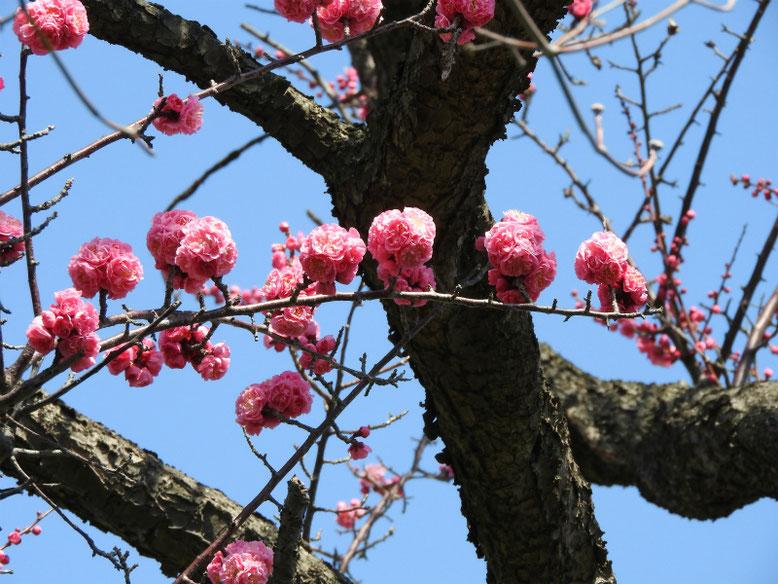 花桃の花(はなもも) 散策路 2019/03/12撮影