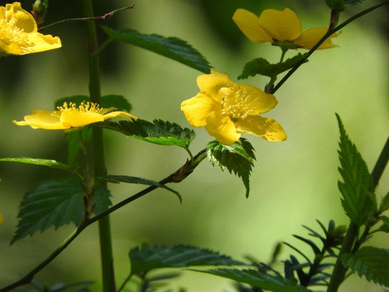 山吹(やまぶき) 一重咲き 散策路 170414撮影